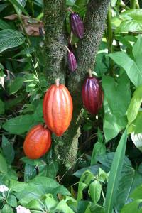 Какао-бобы разной степени зрелости