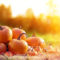 Põltsamaa — урожай тыквы отражает разный климат в небольшой Эстонии